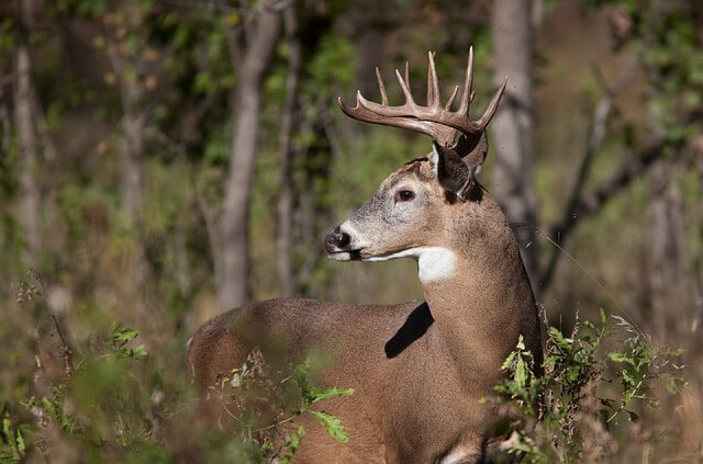 white tailed deer buck with antlers