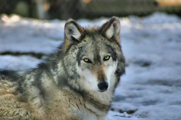 Gray wolf (photo from Pixabay)