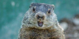 Groundhog looking straight at the camera, mouth open Groundhog Day