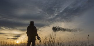 Human in foreground, with flock of starlings